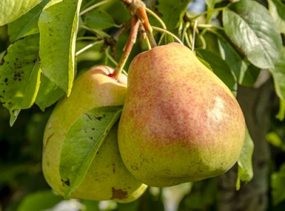 Саженцы груши - Осенняя Яковлева