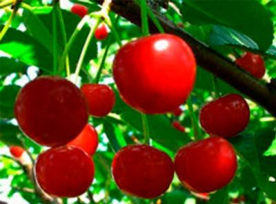 Саженцы вишни - Любская