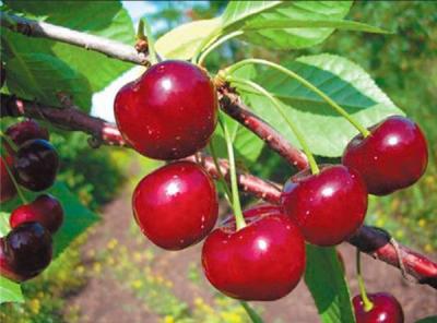 Саженцы вишни - Шубинка