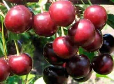 Саженцы вишни - Тамарис