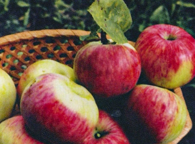 Саженцы яблони - Анис полосатый (Анис серый)