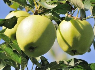 Саженцы яблони - Аркад сахарный