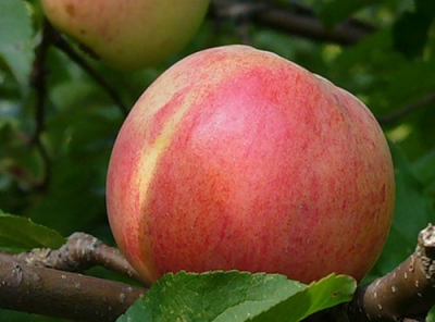 Саженцы яблони - Болотовское