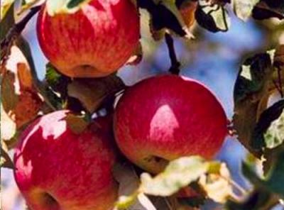 Саженцы яблони - Бельфлер китайка