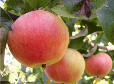 Саженцы яблони - Грушовка ревельская