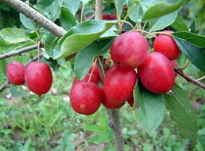 Саженцы яблони - Долго Китайка