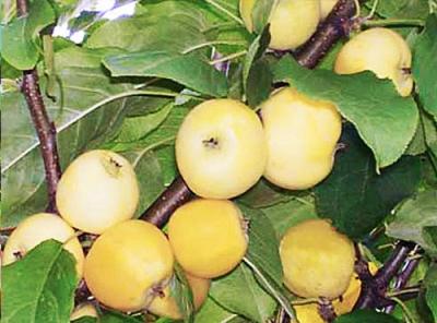 Саженцы яблони - Китайка золотая ранняя