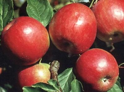 Саженцы яблони - Красное раннее