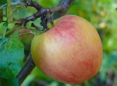 Саженцы яблони - Курнаковское