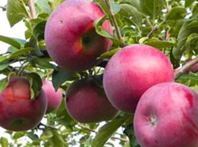 Саженцы яблони - Лобо