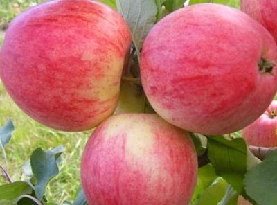 Саженцы яблони - Мечта