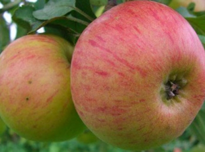 Саженцы яблони - Медуница