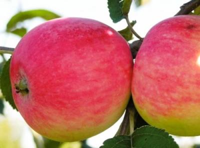 Саженцы яблони - Мельба