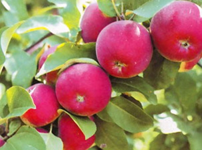 Саженцы яблони - Орлик