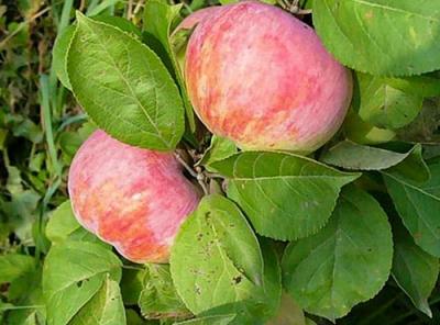 Саженцы яблони - Орловим
