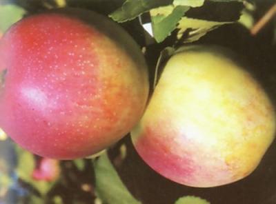 Саженцы яблони - Строевское