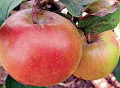 Саженцы яблони - Свежесть