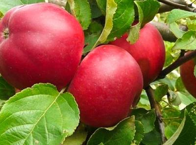 Саженцы яблони - Веньяминовское
