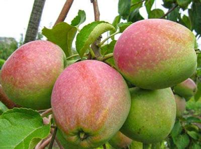 Саженцы яблони - Ветеран