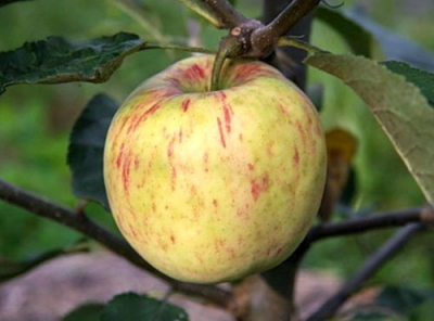 Саженцы яблони - Яблочный спас