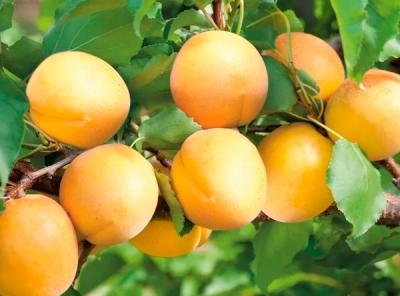 Саженцы абрикосов - Водолей