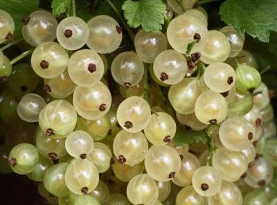 Саженцы белой смородины - Смольяниновская