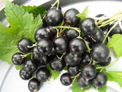 Саженцы черной смородины - Ядрёная