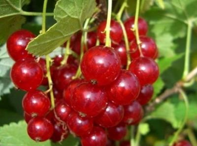 Саженцы красной смородины - Газель
