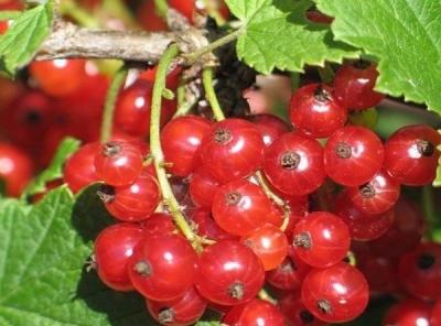 Саженцы красной смородины - Валентиновка