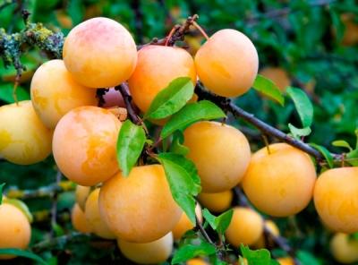 Саженцы сливы - Яхонтовая (жёлтая)