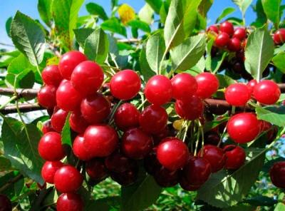 Саженцы вишни - Прима